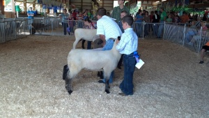 Selecting the champion breeding ewe (female).