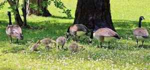geese family 2