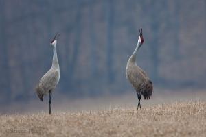 sandhill_crane17