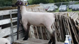 lamb at fair