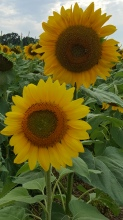two sunflowers