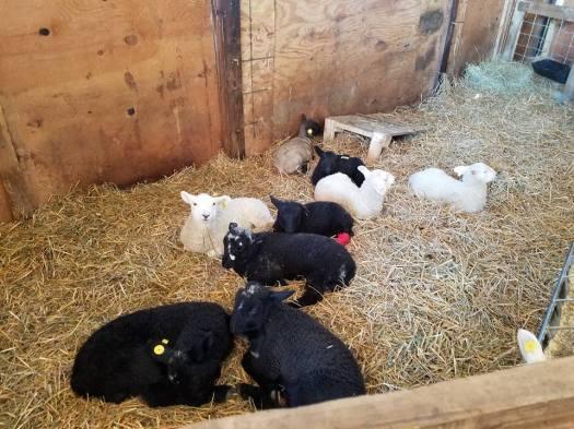 baby lambs 2
